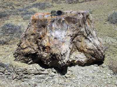 Petrified Tree Stump in Lewis Shale