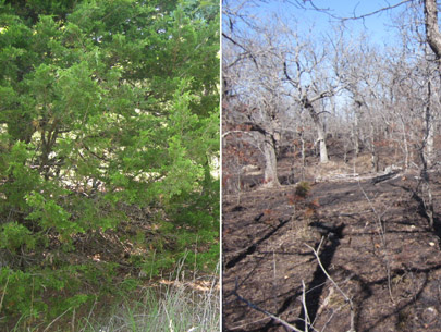 Before and after photograph of red cedar removal