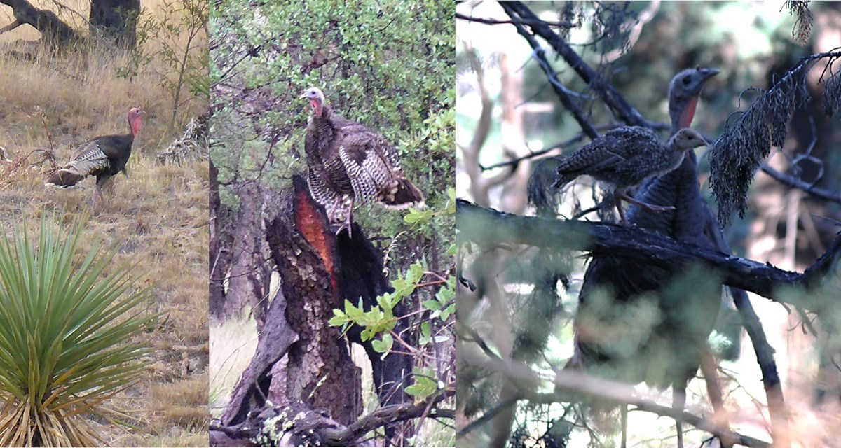 3 images: left is male turkey in yellow grass with a sotol in the foreground; second image is a female turkey on a burned tree trunk; third image is of young turkey in foreground and female turkey in background.