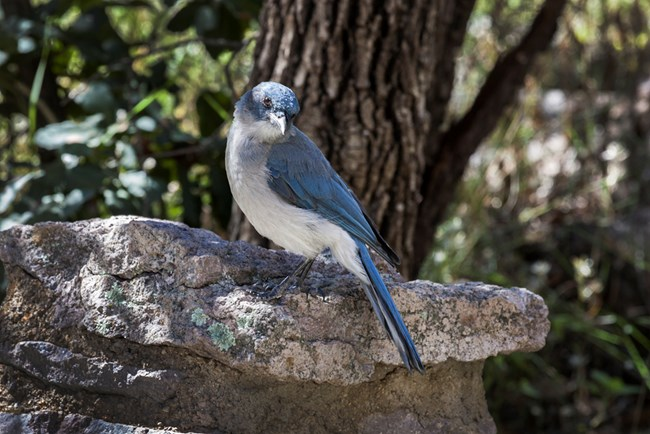 Blue bird with gray breast, sitting on a rock.