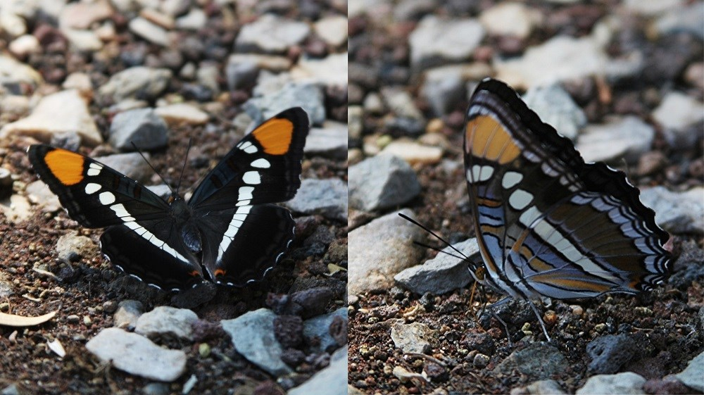 Dark brown butterfly with orange on wing tips. Underside has cream and blue streaks on dark brown background.