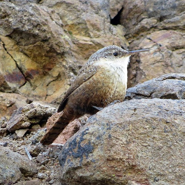 Little brown bird with a long bill and a white chin on a rock.
