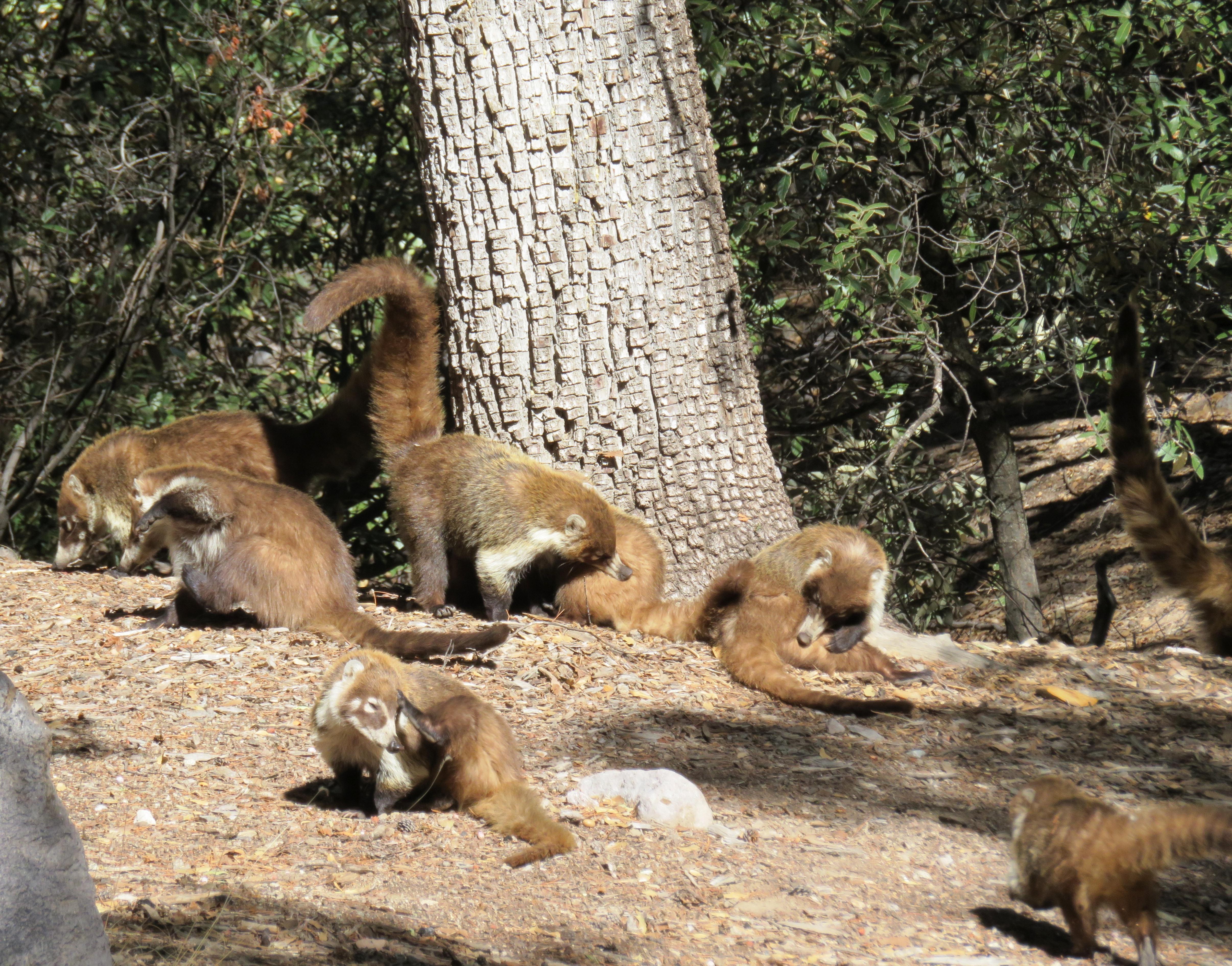 Mammals - Chiricahua National Monument (U S  National Park