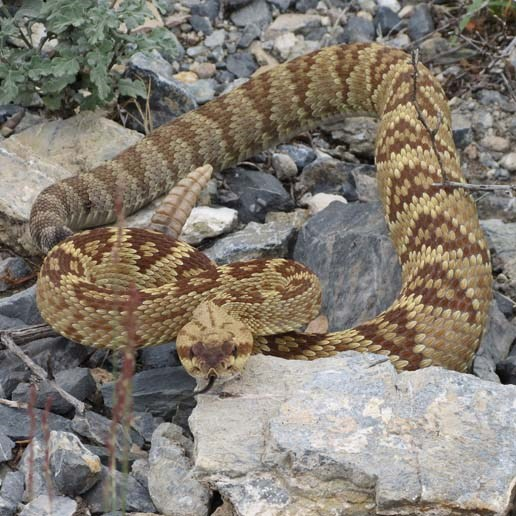 Black-tailed rattlesnake.