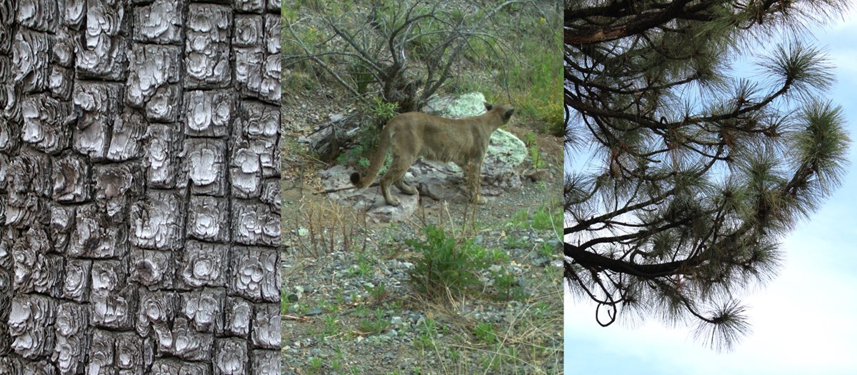 three photos: square-shaped bark; a mountain lion in a dry wash; and long-needled pine tree branches against a blue sky.