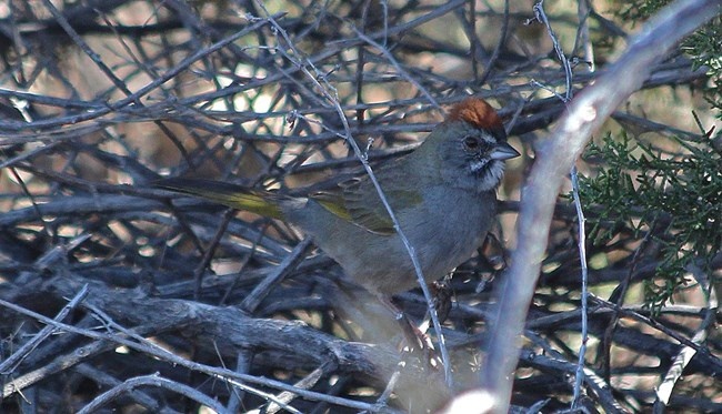 Greenish brown bird with red on its head, sitting in some branches.
