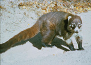 "Coatis are members of the raccoon family, which also includes the ringtail ""cat.""  They all have long, striped tails."