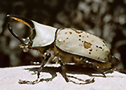 The western Hercules beetle is an amazing creature, found only in Arizona.  Males commonly grow up to 70mm (2.75 inches) in length, making them one of the largest beetles in the U.S.  Males have a large horn, females are hornless.