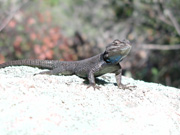Spiny lizards are common, and love to pose for pictures too!  Males have a colorful, blue throat.