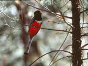 The elegant trogon is a tropical species that is usually found in Mexico, but also regularly visits the Chiricahua mountains. It is a large bird (around 12 inches) and is most commonly found in streamside woodlands.