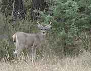 "The white-tailed deer can be found throughout most of north America.  When alarmed, they will raise their tail, revealing a white ""flag"" that warns other deer of approaching danger."