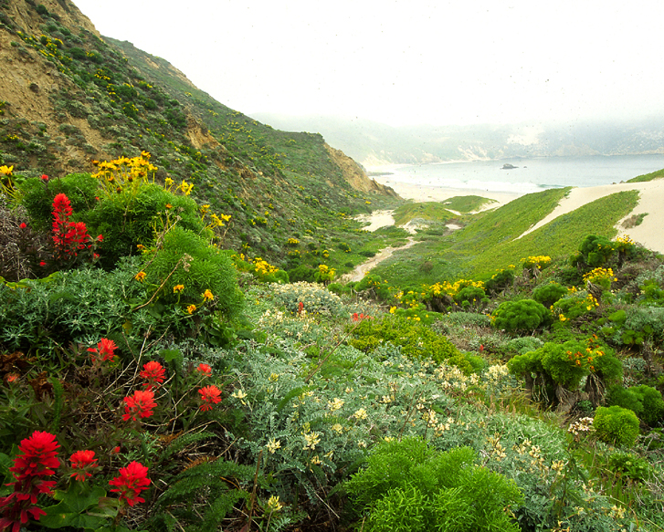 Walking up Nidever Canyon on San Miguel Island, one can experience the recovery of native vegetation after nearly 120 years of grazing.