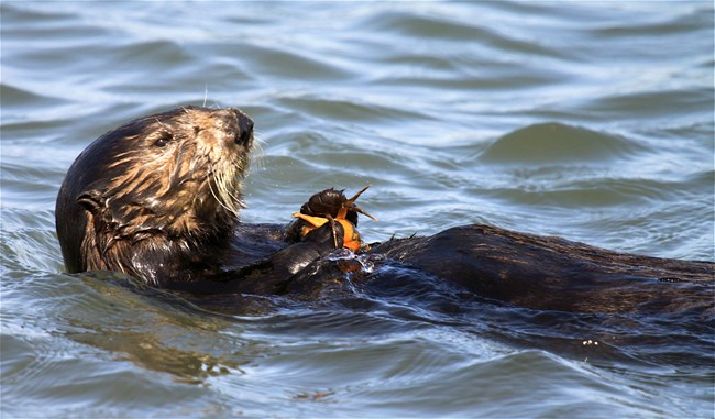 A southern sea otter enjoys an invasive exotic green crab in Moss Landing, California.