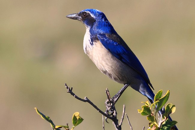 Island Scrub Jay Channel Islands National Park U S