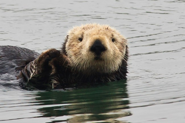 Small sea mammal with thick fur in ocean.