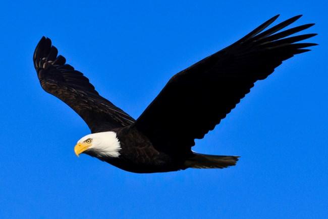 bald eagle channel islands national park u s national park service