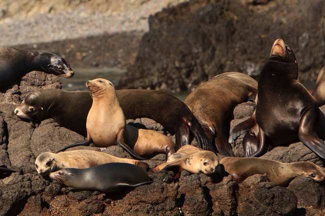 California Sea Lion Overview Conservation
