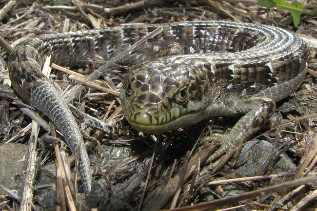 What Do Lizards Eat And Drink In Backyards southern alligator lizard - channel islands national park (u.s.