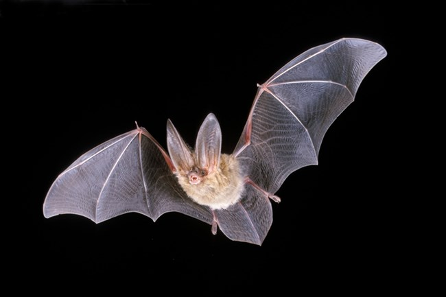 Bat flying against black sky. ©BLM