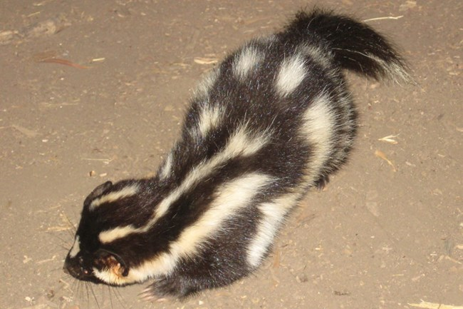 Black and white skunk on it front legs.