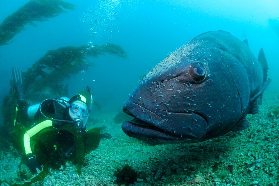 Giant (Black) Sea Bass - Channel Islands National Park (U ...