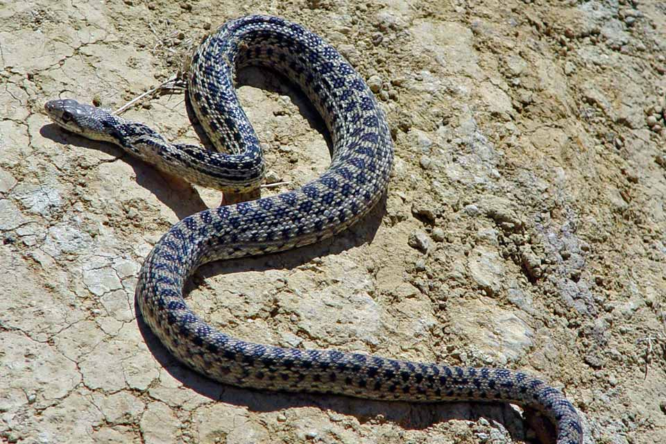 Grey and brown snake sunning on rock. ©Kathy de Wet-Oleson