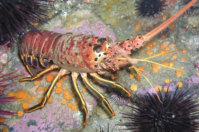 California Spiny Lobster - Channel Islands National Park