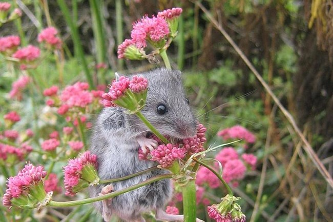 Grey mouse on pink flowers. ©Cathy Schwemm