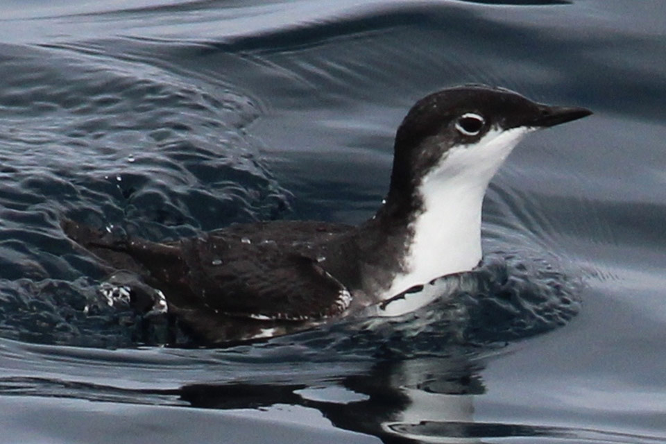 black and white seabird in water.