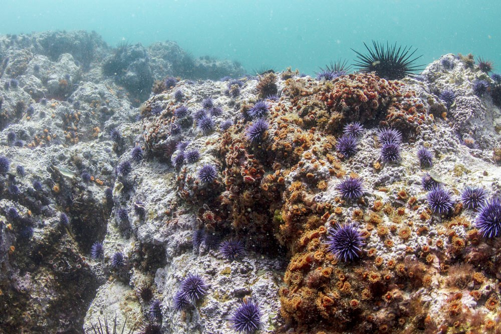 Barren, rocky seafloor dotted with purple sea urchins