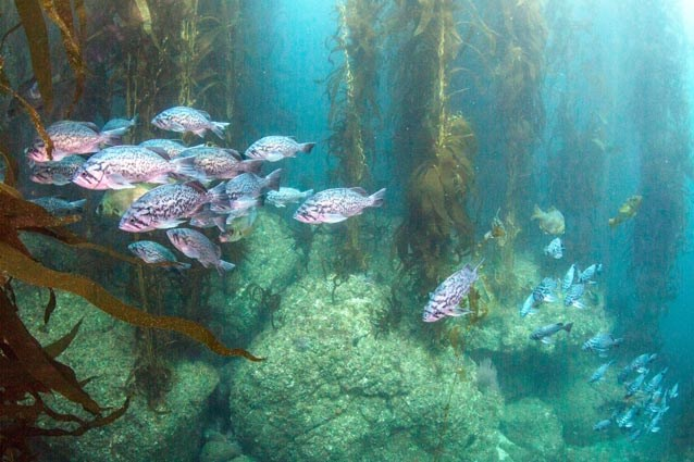 Rocky reef and kelp forest with a school of blue rockfish.