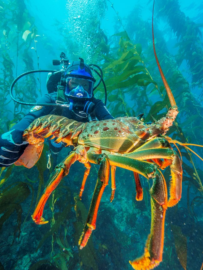 National Park Service diver holding out an enormous California spiny lobster