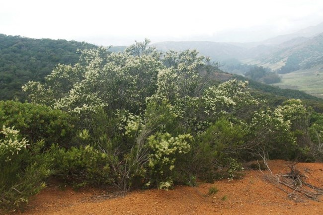 Chamise in flower on the hills of central Santa Cruz Island