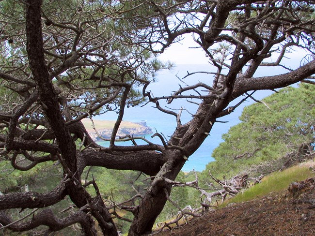 Looking through a stand of Torrey pines from within