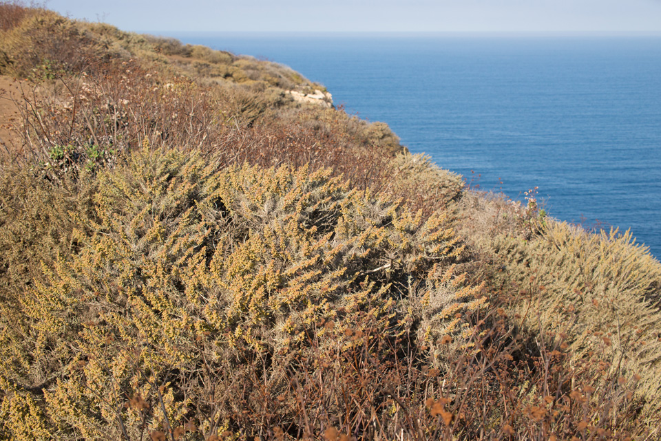 Coastal sage scrub plant community along the top of a seaside cliff