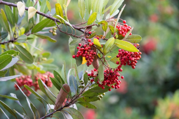 Red berries of a toyon shrub