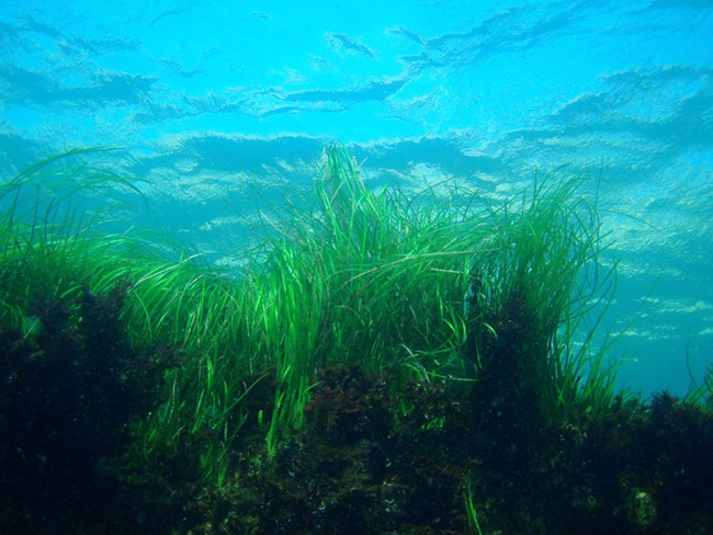 Seagrass swaying with the currents
