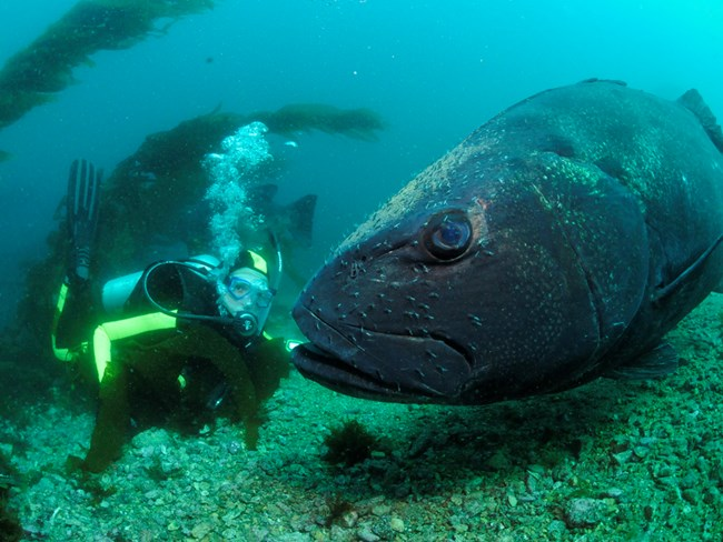Diver face to face with an enormous black seabass