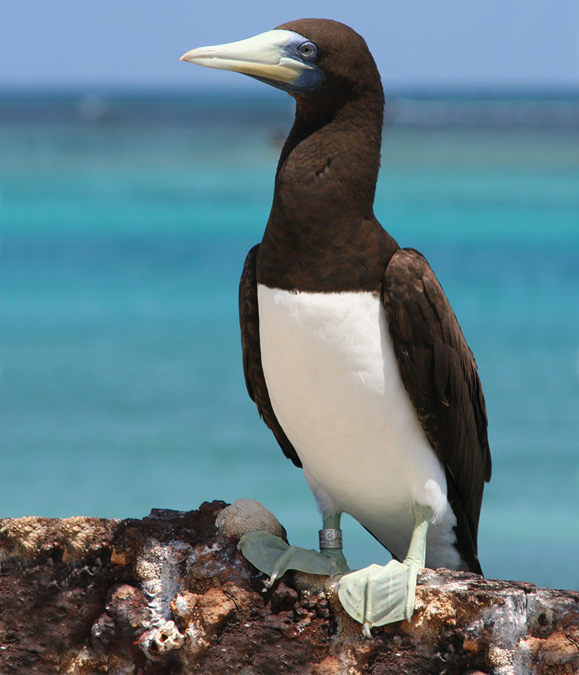 Seabird standing on rock. White breast, black back and head with large bill.