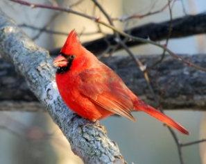 Red Northern Cardinal on a branch