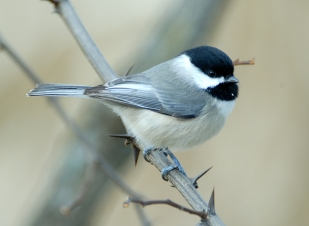 Carolina Chickadee on a branch