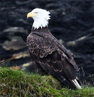 Bald eagle perched on grassy stone