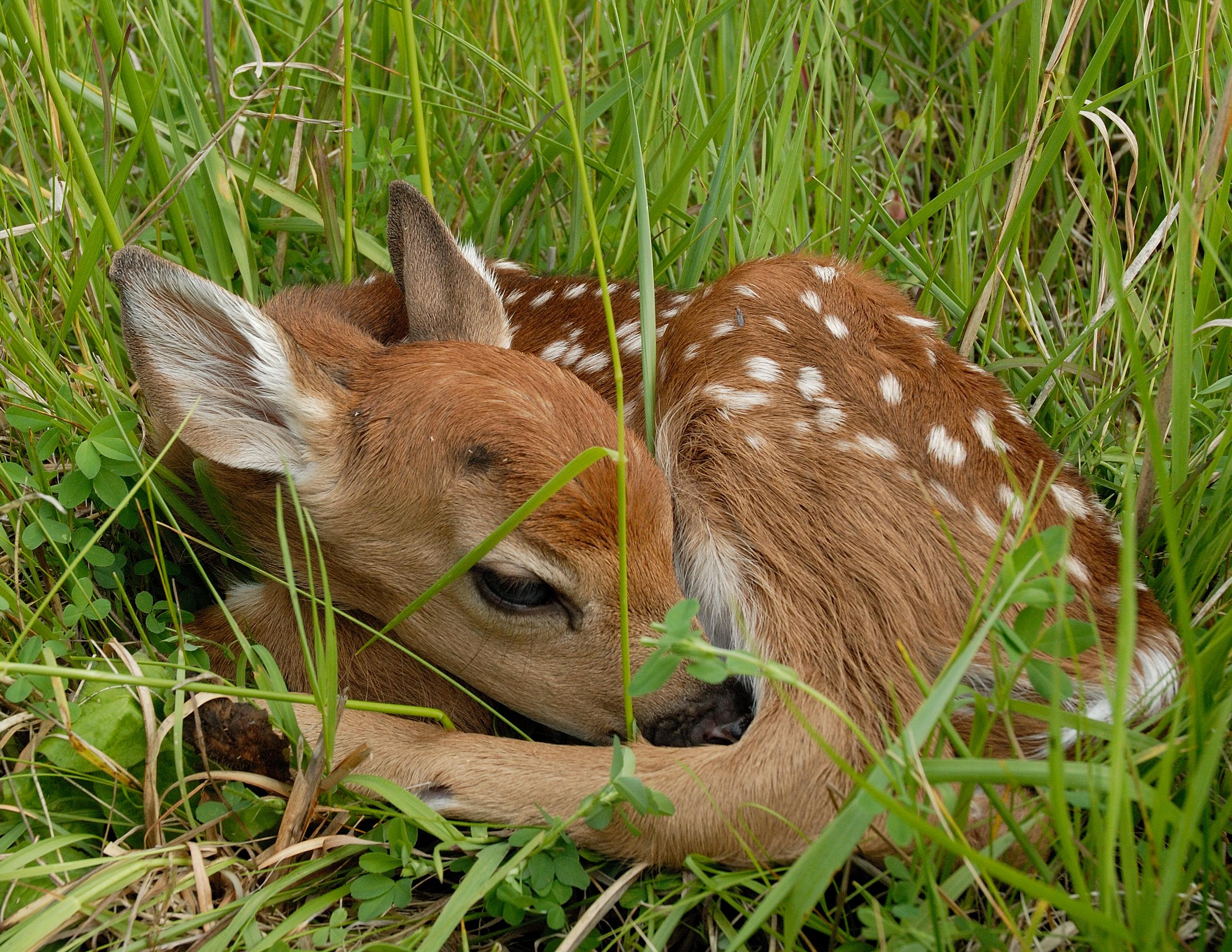 deer chesapeake ohio canal national historical park u s deer fawn