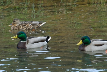 Mallard ducks on the Canal