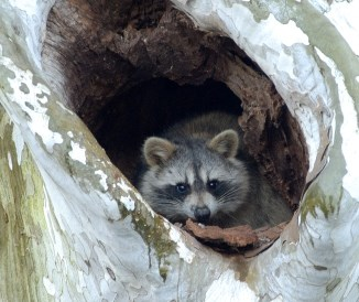 Raccoon peeking out of a tree
