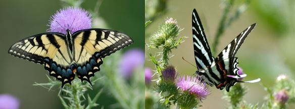 Tiger Swallowtail and Zebra Swallowtail Butterflies on Flowers