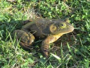 American Bullfrog in the grass