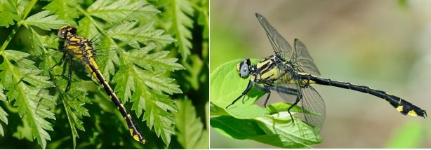 Spine-crowned clubtail and splendid clubtail dragonflies