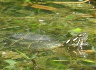 Eatern Painted Turtle in water