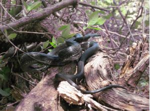 black ratsnake on logs
